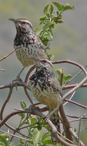 California Cactus Wrens. Photo: RAHamilton