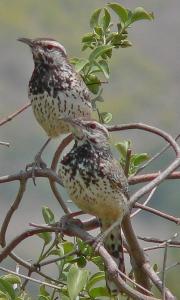 California Cactus Wrens. Photo: RAHamilton