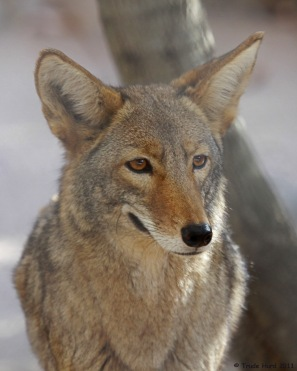 COYOTE zoo IMG_2990 r 2000px